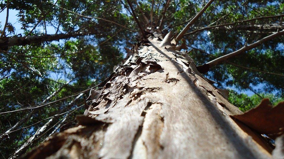 madera eucalipto
